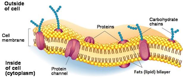 vitiligo-cell-membranes