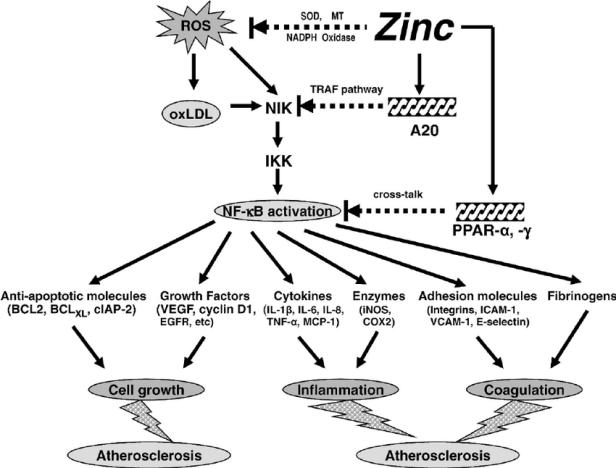 zinc-inflammation