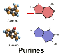 purines-gout