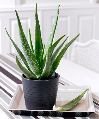 succulents-health-benefits